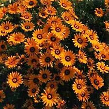 African Daisy - Orange- 50 Seeds - 50 % off sale