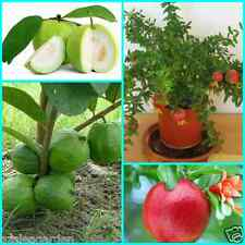 Dwarf Fruit Seeds Combo Pack -Pomegranate, White & Red Flesh guava ,20 seeds