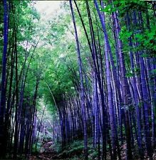 40 Seeds Rare purple Timber Bamboo Seeds Bambusa  Purple bamboo seeds