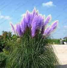 500 PURPLE PAMPAS  SEEDS ORNAMENTAL GRASS PAMPAS PURPLE Cortaderia selloana