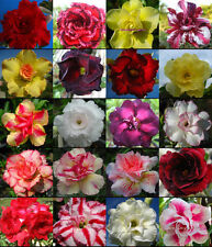 "NEW! Adenium Obesum Desret Rose ""Mixed 20 Type 110 Seed!!"