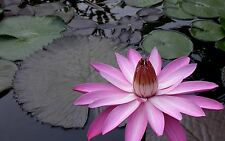Nymphaea PINK NIGHT BLOOKING TROPICAL WATER LILY SEEDS