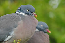 Wood Pigeons POSTCARD Bird Steve Greaves Print Card Photo Wildlife Nature Card