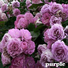 8 Variety Climbing Rose Seeds Rose Multiflora Perennial Fragrant Flower 100PCS