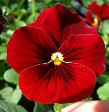 SEEDS 25 graines Pensée Géante ROUGE CARDINAL (Viola wittrockiana) RED PANSY