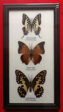 3 REAL BUTTERFLIES LIME BUTTERFLY TAXIDERMY INSECT PICTURE FRAME LIME RAJAH