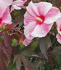 Hibiscus grandiflorus Kopper King Sent In 9cm Pot