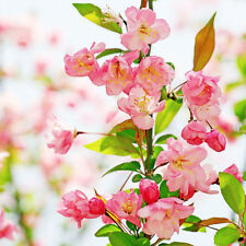 100pcs Anne Flowering Crabapple Tree Seeds