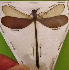 Real Sulawesi Wood Wing Dragonfly Odonates sp. Spread FAST SHIP FROM USA