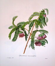 P.J. Redoute 136 Spaendoncea tamarandifolia vintage print