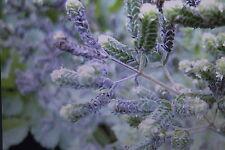 5 Samen arabischer Ampfer,Rumex tingitanus#460