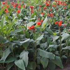 Canna Indica - 10 Seeds -  'Red'  Flowered Banana  Foliage