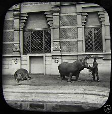 Glass Magic Lantern Slide HIPPO AT ZOOLOGICAL GARDENS ANTWERP C1890 BELGIUM ZOO