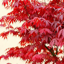 10PCS JAPANESE Red Maple Seeds Maple Tree Acer Palmatum Garden home Plant Decor