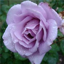 Blue Moon Climbing Rose Seeds Double (10 seeds) F-143