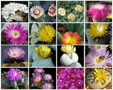 Mesembs VARIETY MIX exotic rare succulent cactus ice living stone seed 100 SEEDS