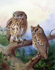 Thorburn Archibald Little Owl And Scops Owl Print 11 x 14   #4881