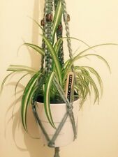 x1 15cm+ spider Chlorophytum Comosum plants rooted air purifier variegated house