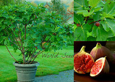 Semi-Dwarf Fig tree 'Jerusalem' (Ficus carica) indoor outdoor! VERY HARDY seeds.