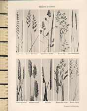 1927 PRINT ~ BRITISH GRASSES ~ CLUSTERED COCKS-FOOT ANNUAL POA FOX-TAIL MEADOW
