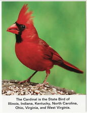 Postcard Cardinal State Bird of IL IN KY NC OH VA and WV