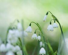 Sommer-Knotenblume•Leucojum aestivum•5 Samen/seeds•Summer Snowflake•winterhart