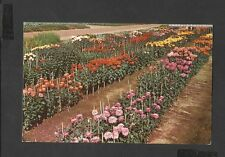 Royal Horticultural Society Trials  Chrysanthemums Garden Wisley Postcard.