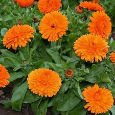 10 Seeds Calendula Flower - MANDARIN TWIST Hybrid Good Growing Seeds