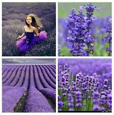 Herb seed - TRUE ENGLISH LAVENDER VERA Augustifolia Herb Flower