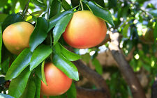 Grapefruit 15 Seeds Fruit Tree Citrus
