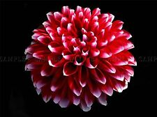 SINGLE DAHLIA PINK RED FLOWER BLOOM PHOTO ART PRINT POSTER PICTURE BMP997A