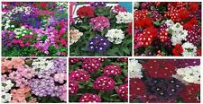 MIXED COLORS OF VERBENA  25 SEEDS+UNLIMITED SEED PACKS FLAT RATE S/H OF $1.99