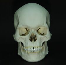 HUMAN MALE EUROPEAN ADULT SKULL REPLICA (REAL SIZE)