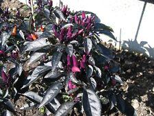Peruvian Purple kleinbleibende Chili mit schwarzem Laub und dunkellila Früchten
