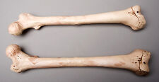 Halloween Horror Aged Femur Bones, Life-Size Human Skeleton, Left & Right, NEW