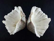 """Vintage Matching set / Pair Giant CLAM SHELLS Perfect Home Decor """"  NO REPAIRS"""