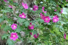 ROSE-ROSA INERMIS-Thornless ROSE-adatto per l'hedging. 20 semi