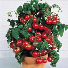 10 Semi di POMODORO CILIEGINO NANO * Tomato Tiny Tim seeds * semillas