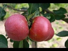 Dwarf Apple Grafted Plant -1 live Plant-1.5 to 2 Feet Tall-High Yielding