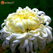 100+ Flower Seeds Potted White Chrysanthemum Seeds Beautiful Potted Plant Seeds