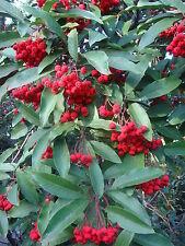 Photinia davidiana ( 20 graines/seeds )