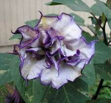 Datura Metel - Black Currant Swirl - 10 Seeds  - Showy Double Flowers