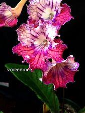 Streptocarpus vmee's TOM YUM **young plug plant