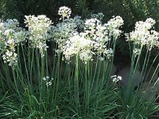 100 Garlic Chive Seeds Easy Growing Decorative Herb Additional Packs Ship Free