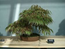 BONSIA -ACER PALMATUM  DISSECTUM -JAPANESE MAPLE- 10 SEEDS