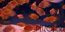 Blood Parrot Cichlid - Red Parrot Fish - High Quality - Medium