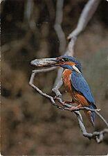 BF39998 martin pecheur prs du nid Alcedo atthis fisher france  bird oiseau