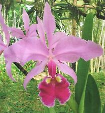FRAGRANT CATTLEYA WARSCEWICZII ORCHID SPECIES