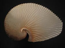 Very Rare/Deep H2O...ARGONAUTA ARGO~211mm!!!~Taiwan SEASHELL