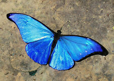 ONE WINGS CLOSED MORPHO RHETENOR RHETENOR BUTTERFLY UNMOUNTED